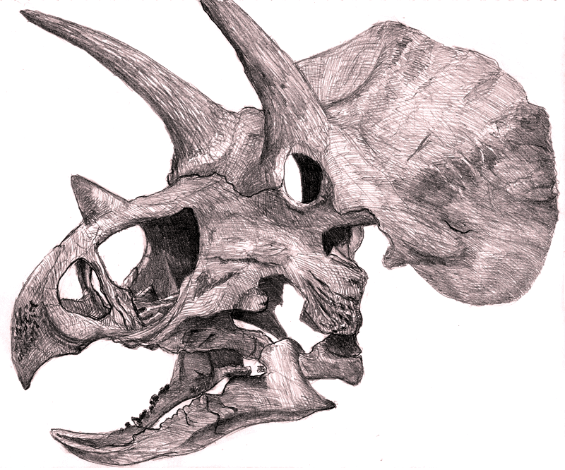 Gallery For gt Triceratops Skull Drawing