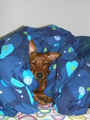 Pinseri nukkuu peiton alla