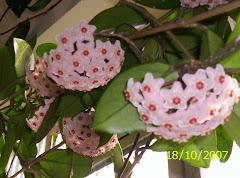 flor de cêra