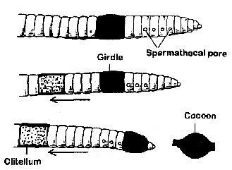 cocoon formation earthworm pheretima posthuma