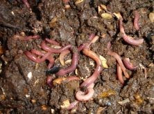 economical group soil earthworm pheretima posthuma