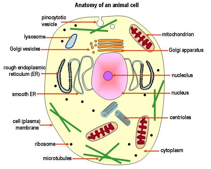 simple animal cell structure. Cell is the asic structural
