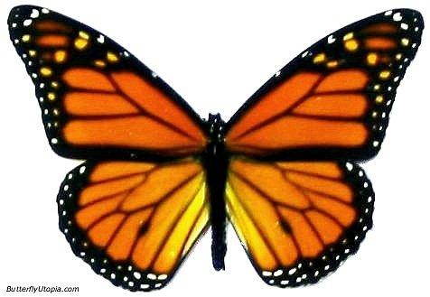 http://3.bp.blogspot.com/_FNASWhn0y1w/S7TkV6G1IMI/AAAAAAAAE8o/-qYjPaKpC9o/s1600/monarch_butterfly.jpg