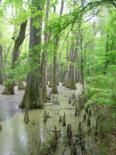 Beautiful Cypress trees!