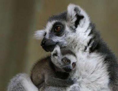 Katta monkey