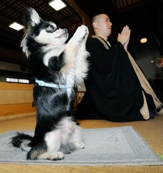 Chihuahua Buddhist Dog