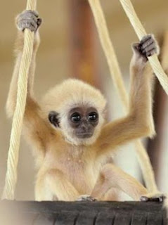 Animal: baby gibbon, monkey.