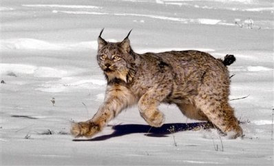 Animal: a female Canadian lynx