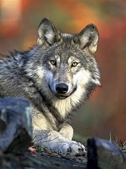 animals; gray wolf: pets