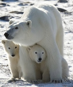 polar bears animals pets