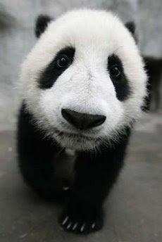 animals: panda bears