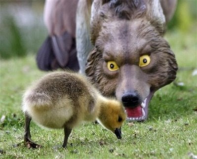 Animals and Pets: gosling and coyote