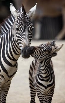 Animals: female zebra.