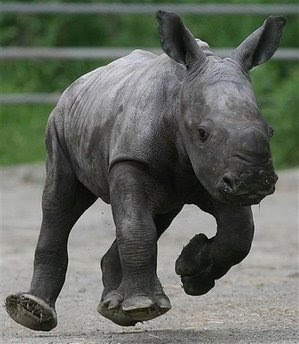 Animals: white rhinoceros.