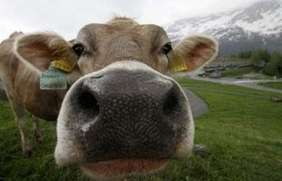 Animals: cow.