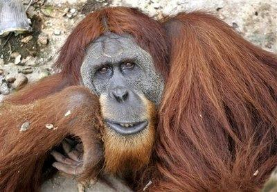 Animals: sumatran orangutan.