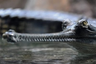 Animals: indian gharial crocodile.