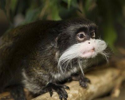 Animals: Emporer Tamarin monkey.