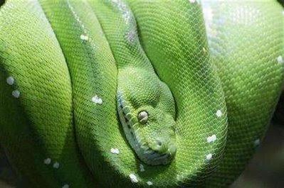 Animals: python.