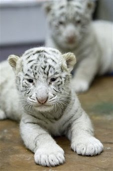 Animals: tigers Cubs.