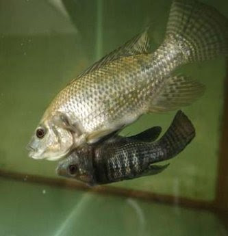 Nile Tilapia fish
