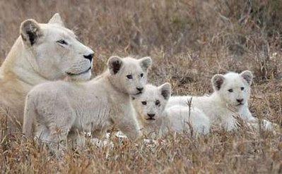Animals: lion.