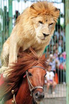 Animal: lion.