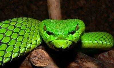 Animal: gumprechts green pitviper.