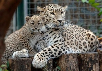 Animals: persian leopards