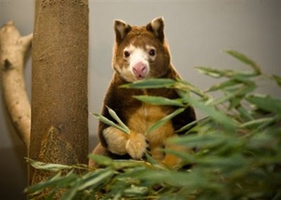 Animal: Matschie's tree kangaroo.