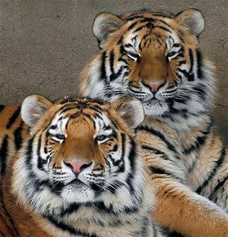 Animals: amur tigers