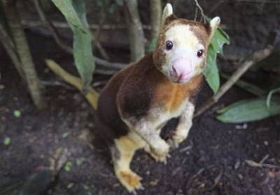 animals: Matschie's Tree Kangaroo.