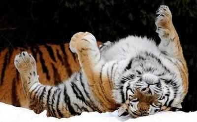 Animal: Siberian Tiger.