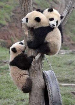Animals: Panda cubs.