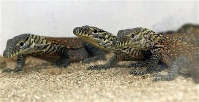 Animals: komodo dragons.