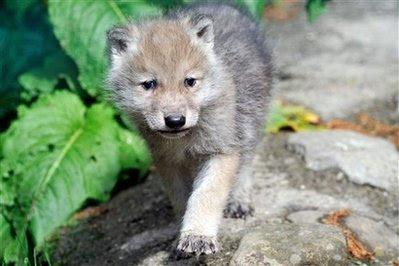 Animal: siberian wolf cub.