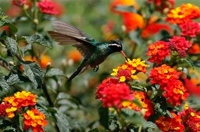 Animal: hummingbird.