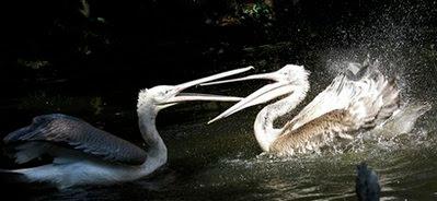 Dalmatian Pelicans.