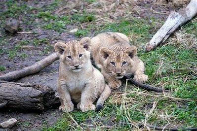 In this photo provided the Columbus Zoo and Aquarium female lion cub Adia, left, and male cub Kitambi, right, are shown Monday, Nov. 23, 2009 in Columbus, Ohio. The two cubs and a sister, all born Sept. 22, were allowed outdoors in view of zoo visitors for the first time on Tuesday, Nov. 24.