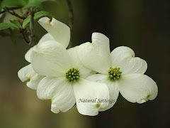 Dogwood Postcards 10 for  $ 4.99