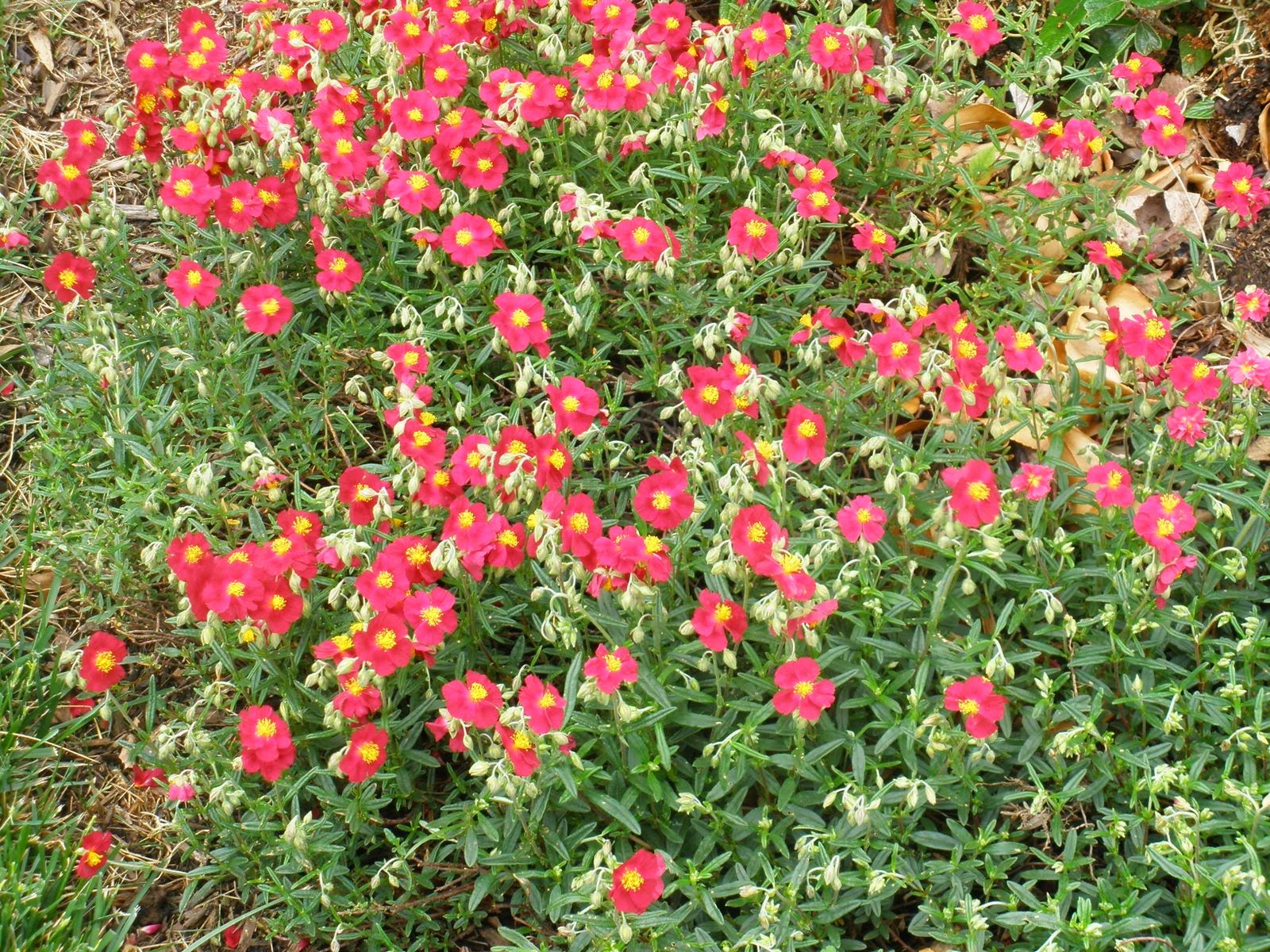 The Small Red Flowers With Yellow Centers Are Cheerful And Make A Perfect Edging Plant For Front Of Border