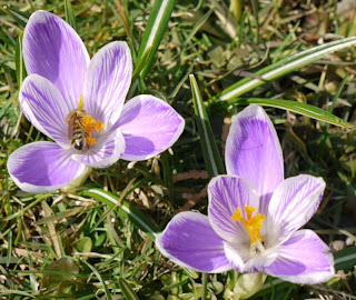 Biene und Krokusse