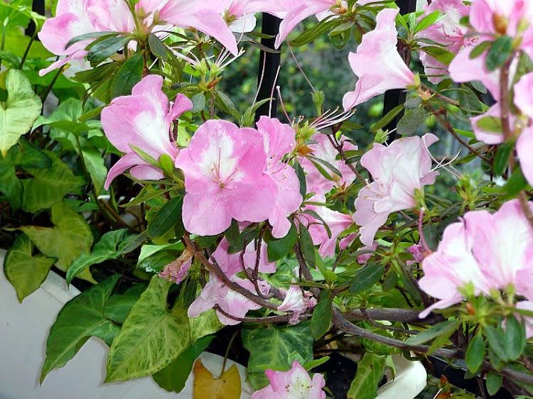 Flores de azaleas