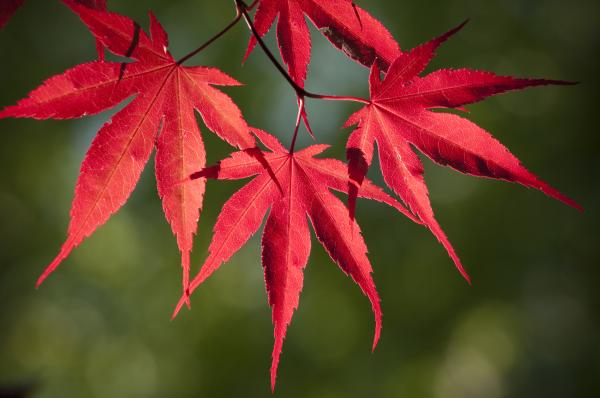 Japanese Maple leaves,