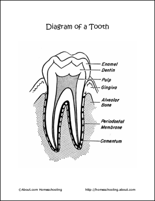 32 gems basic diagram of tooth basic diagram of tooth ccuart Images