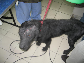 Rex (Labrador) before fostering of Alya Honasan