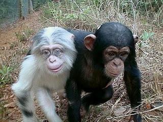albino monkey