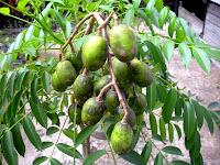 nama latin buah buahan, silakan cari disini, semua ada disini