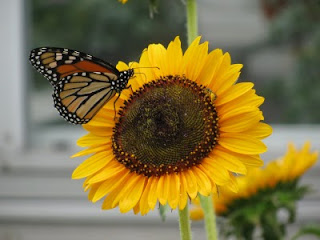 monarch on sunflower @ Purdue