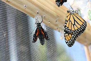 a monarch eclosing from the chrysalis